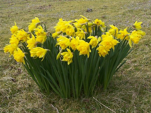 Daffodils, Kilchoan, Lochaber, March 2015