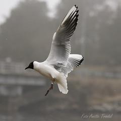 Hettemke i flukta - Mandal (@anette-tre) Tags: norway seagull mandal blackheadedgull naturesfinest hettemke bankebukta chroicocephalusridibundus mittmandal ringmerket mkefugl