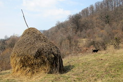 jön a tavasz, jön bizony / spring is coming (debreczeniemoke) Tags: dog spring meadow haystack kutya tavasz frakk rét transylvanianhound szénaboglya erdélyikopó canonpowershotsx20is