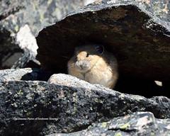 From the Shadows (Photos of Southwest Montana) Tags: rabbit bunny nature rock spring nikon hare wildlife tamron pika bradchristensen dillonbeaverheadbeaverheaddeerlodgenationalforest photosofsouthwestmontana