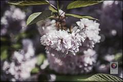 Bonn-Kirschbluete-34 (kurvenalbn) Tags: deutschland bonn pflanzen blumen nordrheinwestfalen frühling kirschbluete