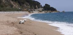Safe distance (bernat.rv) Tags: sea dog costa white blanco coast mar mediterranean mediterraneo waves little perro olas pequeo espuma