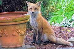 The Visitor (WilliamND4) Tags: animal nikon fox nikon1 nikon1v3