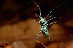 GLEE! (John Horstman (itchydogimages, SINOBUG)) Tags: china macro topf25 insect topf50 beetle flight longhorn yunnan tweet fbe coleoptera cerambycidae longicorn lamiinae tumblr fbj itchydogimages sinobug