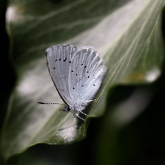 """""""Celastrina argiolus"""" - boomblauwtje (bugman11) Tags: macro nature animal animals fauna canon butterfly bug insect leaf nederland thenetherlands butterflies insects bugs vlinder celastrinaargiolus boomblauwtje 100mm28lmacro"""