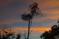 dawn (Occasionally Focused) Tags: red sky tree sunrise dawn pentax manualfocus smcpentaxm1250mm pentaxm manuallens manualexposure unmetered rawtherapee justpentax