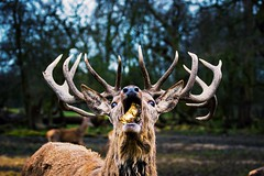 Mouthful (Scubastevephotos1) Tags: trees love nature woods stag eating wildlife deer antlers explore hungry l4l mouthful f4f followforfollow