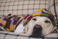 That time Mav was on the couch. (floppyearsphotography) Tags: dog cute night snuggle hoodie labrador sleep snooze aww inside pyjamas spoiled petphotography 52weeks sydneydogs maverickmonday