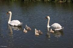 Swan family (Max Jongkoen) Tags: swan swans zwaan zwanen zwaantjes youngswans jongezwaantjes
