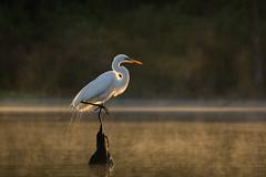 Natural Balance (gseloff) Tags: mist bird sunrise texas wildlife pasadena greategret kayakphotography gseloff horsepenbayou galvestonbayestuary
