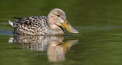Female Shoveler (Anas clypeata). (dave.mcculley) Tags: bird water swimming duck anus shoveler