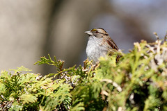 Bruant a gorge blanche / White-throated Sparrow / Zonotrichia albicollis (Yves Dry) Tags: bird nature canon wildlife qubec oiseau whitethroatedsparrow zonotrichiaalbicollis jardinbotaniquedemontral canonef300mmf4lisusm bruantgorgeblanche oiseauxduqubec canoneos7d birdsofquebec bruantgorgeblanche printemps2016 jardinbotaniquedemontral