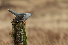 Cuckoo (Louise Morris (looloobey)) Tags: snow field sunshine rain hail alan scott scotland post walk hide nigel cuckoo sleet april2016 aq7i8098