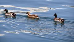 TRIS (Turm 2) Tags: duck acqua azzurro animali papere famigliola uccello volatili acquatico