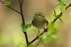 Wood warbler (Karl Adami - www.adamifoto.com) Tags: cute leaves birds yellow forest woodland woods european day small may adorable fast aves summertime nordic northern eurasian avian springtime songbirds estonian birdlife summery warblers borealforest passeriformes woodwarbler birdphotography passerines leafwarblers