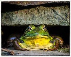 Frog in Koi pond (danielquilespagan66) Tags: summer frog buckscountypa bullfrog nikond3200 nikondx 55300mm