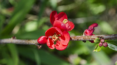 Red Rover DSL7908 (iloleo) Tags: red toronto flower nature spring bokeh quince nikond7000 lowerdonparklands