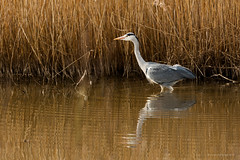 Grey Heron (JustinTheWild) Tags: uk england heron canon reeds grey spring fishing hunting 5d oxfordshire reedbed