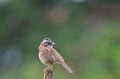 Tico-tico (Zonotrichia capensis) (Anderson_Almeida_) Tags: wild minasgerais bird nature animal garden nikon ave birdwatching estiva d3100
