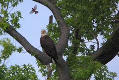Vito the bald eagle making friends with an orchard oriole - Staten Island, New York (superpugger) Tags: eagle island staten raptor birds oriole statenislandbaldeagles bald eagles baldeagles newyorkcitywildlife