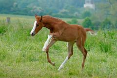 bermut (Heiko Schneemann) Tags: pferde fo foal fohlen lifeiscrazy