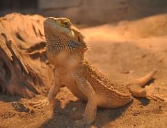 Coolnesssss (Lana Filip'eva) Tags: texture look sepia contrast cool eyes dragon pastel lizard contrasts bearded coolness pogona bossy agama vitticeps likeaboss brodata