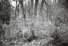 Tower Hamlets Cemetery (goodfella2459) Tags: old white black london tower film cemetery analog 35mm nikon kodak trix graves east 400 tombstones milf f4 hamlets
