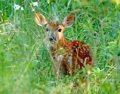 Fawn (rumerbob) Tags: nature wildlife deer fawn wildlifephotographer peacevalleypark canon100400mmlens canon7dmarkii