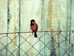 waiting (roberta_souza91) Tags: blue cerca pardal
