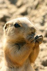 Feeding Time (Michael Eickelmann) Tags: dog baby nature animals zoo tiere feeding natur prairie fttern prriehund tierbaby