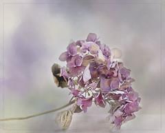 Dry (BirgittaSjostedt) Tags: old stilllife flower texture still paint pastel painted dry hydrangea ie magicunicornverybest birgittasjostedt