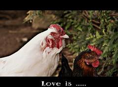 Love is ..... (patrick.verstappen) Tags: willy donna chicken animal love garden photo picassa pinterest pat picmonkey paper yahoo belgium nikon d7100 sigma summer flickr facebook gingelom google