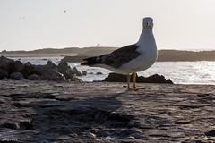 Okkio che Ti tengo d'Occhio !!! (Algol69) Tags: port seagull morocco porto marocco essaouira gabbiano okkio