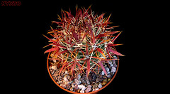 Ferocactus Gracilis (Nyxtofulakas) Tags: california cactus nature mexico succulent baja cactaceae spines ferocactus gracilis