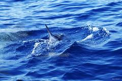 Nel bl ...f capolino FB (Mauro Bettarel) Tags: lampedusa mare mediterraneo vacanze italy delfini