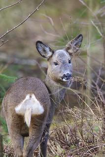 Capreolus capreolus, Roe deer
