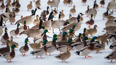 031015 - 336/365 (Dan Fleury Photos) Tags: ontario canada canon river frozen duck pod wildlife goose marching waterfowl 6d napanee project365 p365 cans2s canon6d