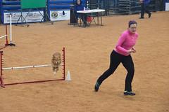 agility243 (jaimekay16) Tags: dog training austin agility k9 xpress nadac k9x