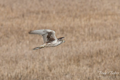 Prairie Falcon flyby sequence - 1 of 8