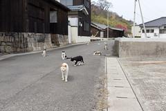 佐柳島 ネコ (GenJapan1986) Tags: 2015 ネコ 佐柳島 動物 多度津町 旅行 離島 香川県 日本 japan travel kagawa island nikond610 cat animal sanagiisland