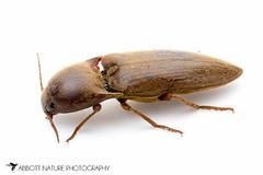 Click Beetle 20110921_9814.jpg (Abbott Nature Photography) Tags: animals austin photography texas technique hexapoda polyphaga insectainsects coleopterabeetle whiteseamlessbackground arthropodaarthropods elateridaeclickbeetles organismseukaryotes invertebratainvertebrates