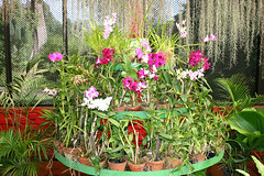 IMG_7169 (Kev Gregory (General)) Tags: from city 2 holiday west its garden botanical for is october orchids central royal it collection sri lanka million about variety visitors 55 2009 kandy province km beruwala peradeniya situated renowned attracts annually