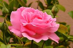 to all my flickr friends - International Women's Day (Maggie 1947) Tags: rosen spanien greatphotographers laxara flickrunitedwinner