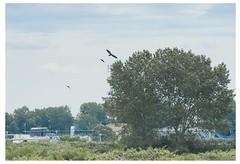Immature Bald Eagle vrs Crows (vern Ri) Tags: canada nikon d70 britishcolumbia birding baldeagle hazing crows harassment ionapark