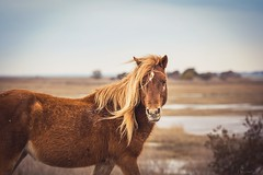 wild mare, wild hair (Jen MacNeill) Tags: wild horses horse beach hair island md mare wind maryland windy made pony chestnut ponies assateague nationalseashore littledoglaughedstories