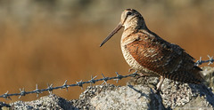 Woodcock (Scolopax rusticola) (Sandra Standbridge.) Tags: bird durham woodcock