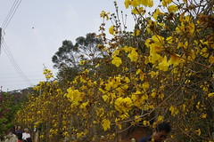 Golden Trumpet Tree (ddsnet) Tags: plant flower sony cybershot    goldentrumpettree tabebuiachrysotricha rx10    yellowpui