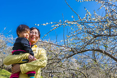 Harry_23326a,,,,,,,,,,,,,,,,,,,,,,,Plum,Plum Tree,Tree,Fruit,Farm (HarryTaiwan) Tags: tree fruit nikon farm plum taiwan     plumtree  d800                       harryhuang  hgf78354ms35hinetnet adobergb