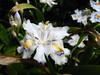 Iris japonica (beneventi2013) Tags: iridaceae canonpowershota610 paolobeneventi