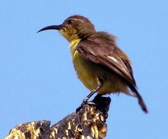 Olive-backed Sunbird, Nectarinia jugularis (asterisktom) Tags: sunbird olivebackedsunbird nectariniajugularis tripthaiphil20142015 thailand january 2015 กรุงเทพมหานคร bangkok bird vogel ave 鸟 niao птица 鳥